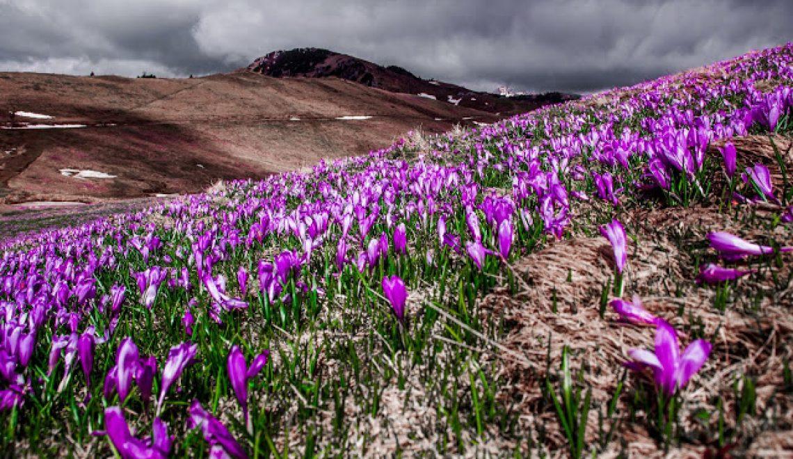 Vijoličaste preproge žafranov na Veliki Planini 2016