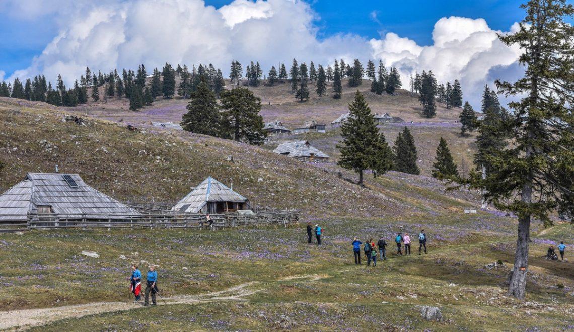 Vijoličasta Velika planina 2017