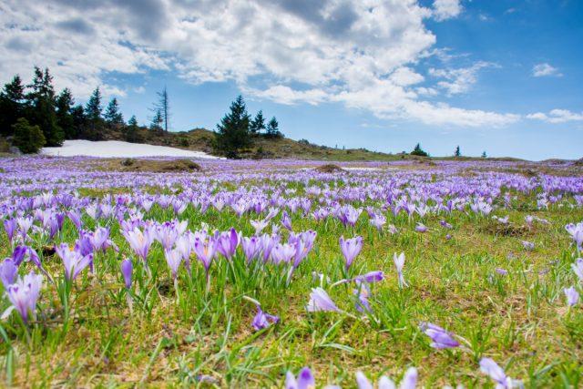 Med vijoličnimi žafrani na Veliki planini: velika planina