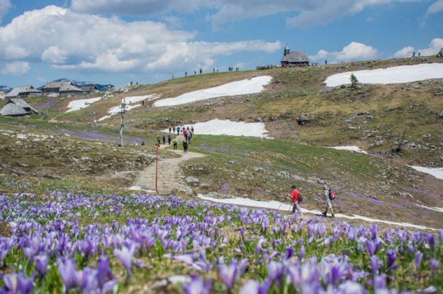 Purple carpets of Velika Planina