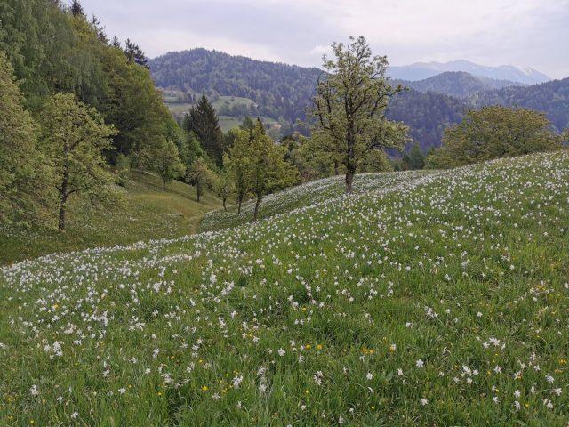Travniki narcis v Plavškem Rovtu